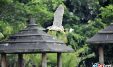 晉江:湖中島上白鷺飛