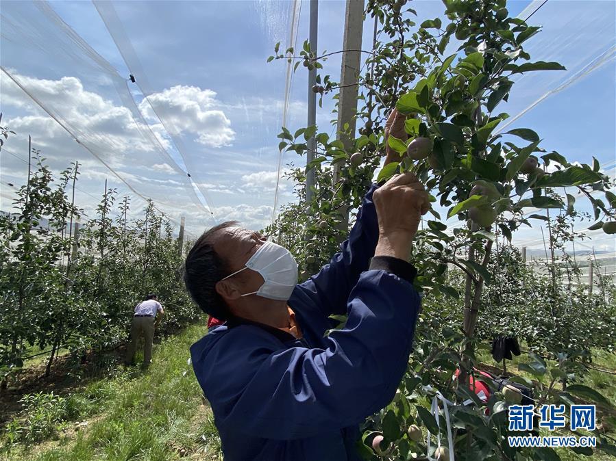 (决战决胜脱贫攻坚·图文互动)(2)高原红了,日子好了——贵州海拔最高县发展苹果产业见闻